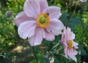 Anemone Hupehensis Flowers