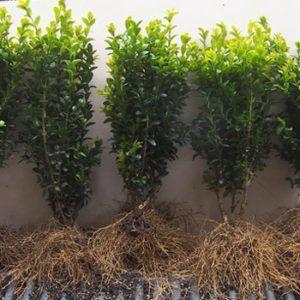Barrodsplanter