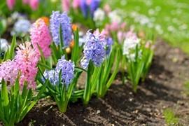 Hyacinter er både med deres duft, form og farve en nydelse - også om vinteren, hvor mange har hyacinter indenfor. Og med lidt omtanke kan man sagtens få mere glæde af de duftende løgplanter end blot én sæson.
