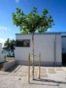 Nyplantet Træ