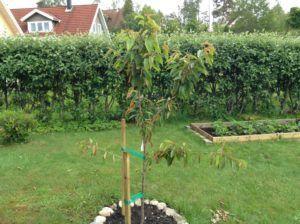 Nyplantet Træ Udtørret