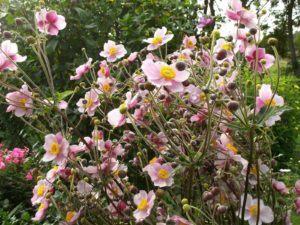 Sommeranemone (Anemone sylvestris)