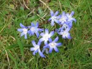 Almindelig Snepryd (Scilla forbesii) kommer tidligt og er smukke i græsplænen